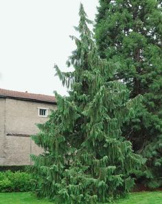 Quite majestic, Chamaecyparis nootkatensis 'Pendula' (Nootka Cypress) is a mediu. Quite majestic, Weeping Evergreen Trees, Evergreen Garden, Garden Trees, Conifer Trees, Trees And Shrubs, Trees To Plant, Types Of Soil, Types Of Plants, Cedar Plant