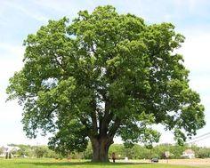 oak tree - Google Search