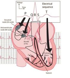Side diagram of the heart steam diagrammatic illustration electrical sequence of the heart for the visual learner ccuart Choice Image