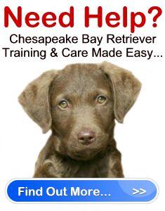 Chesapeake Bay Retriever Training Made Easy   ChesapeakeBayRetrieverSavvy.com