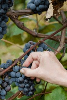 Concord Grape America's Favorite Juice Grape The concord is the number one grape for sweet, tangy juice and nutritious snacking.  2 yr old stock for $30