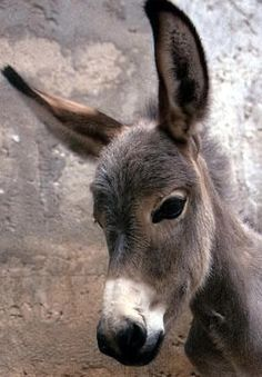 donkey = burro :) Donkeys have been working animals for at least 5000 years! In prosperous countries, the donkey may live up to years. Baby Donkey, Mini Donkey, The Donkey, Baby Cows, Mini Pigs, Farm Animals, Animals And Pets, Cute Animals, Beautiful Horses