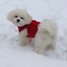 Bichon Frise loves the snow