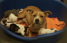 **DALLAS TEXAS** ANOTHER MOM & PUPPIES NEEDING RESCUE!!!! ++FOSTERING SAVES LIVES++ ID# A936495 + 5 puppies [RESCUE ONLY] Mom 2 years 45.2 pounds Intake Date: 4/25/16 https://www.facebook.com/DASUrgents/photos/a.878636175578070.1073741869.572099149565109/874680492640305/?type=3&theater