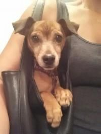 Tiny - Chihuahua