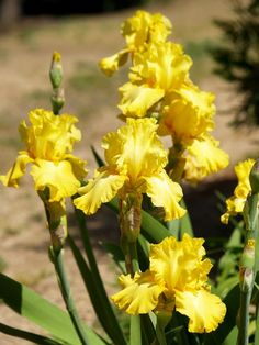 "I added ""Custer's Curls Tall Bearded Iris 