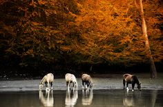 Wild Horses in mid Autumn Dreams