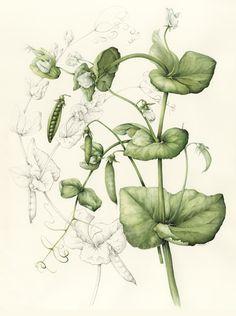 Peas - Shirley Slocock