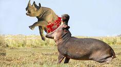 Rhino vs Hippo Who Would Win | Rhino vs Hippo Real Fight | Rhino Attack ...