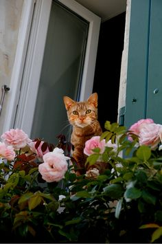 Rose in the roses.....