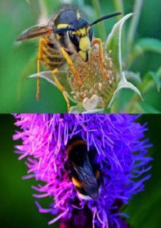Pszczoła, osa, trzmiel czy szerszeń? Jak rozróżnić te owady? http://tvnmeteo.tvn24.pl/informacje-pogoda/ciekawostki,49/pszczola-osa-trzmiel-czy-szerszen-jak-rozroznic-te-owady,174639,1,0.html