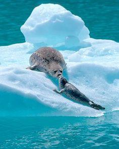 Foca y bebé - Natur pur - Animales Animals And Pets, Baby Animals, Cute Animals, Cute Seals, Harbor Seal, Seal Pup, Tier Fotos, Mundo Animal, Marine Life