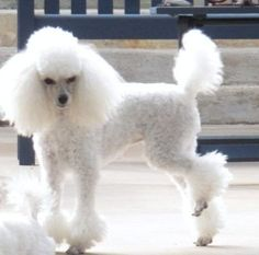 Chloe LaRue - She takes my breath away without any need to breathe again. I can reside in this moment forever. No need to speed ahead to the next breath. Mini Poodles, Toy Poodles, Standard Poodles, Poodle Grooming, Dog Grooming, Poodle Haircut Styles, Poodle Hairstyles, I Love Dogs, Cute Dogs