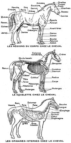 """Paddock Sport"" brand carpet (maybe customizable on ""mon-cheval.fr) … – Art Of Equitation Horse Anatomy, Animal Anatomy, Head Anatomy, Horse Riding Gear, Work Horses, Horse World, Horse Training, Equine Art, Equestrian Style"