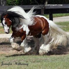 Gypsy Vanner.  One day when I have room for another horse,  I want a gypsy vanner
