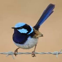 This is the male Blue Wren. The Jenny Wren is brown. I have 2 pair who come every day to bathe in the bird bath. Pretty Birds, Beautiful Birds, Bird Embroidery, Embroidery Ideas, Australian Animals, Animal Facts, Watercolor Bird, Colorful Birds, Exotic Birds