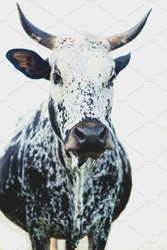 Ad: Black and White Nguni Cow by René Jordaan Photography on Creative Market. - Ad: Black and White Nguni Cow by René Jordaan Photography on Creative Market. A closeup of a beaut - Farm Animals, Cute Animals, Amazing Animals, Animal Agriculture, Cow Painting, White Cow, Tier Fotos, My Animal, Cattle