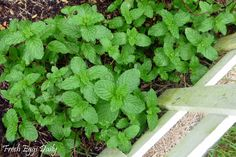 TO KEEP RODENTS OUT OF THE CHICKEN COOP: Plant Some Mint, a natural rodent repellent.  Spearmint, peppermint,  wintergreen, even lemon balm which is also in the mint family, will all help deter mice.  Try planting some mint around the coop and run in the spring.  Sprinkle fresh or dried mint in the coop and nesting boxes year round.