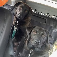 Looking for a couple of furry co-pilots to keep you going in the right direction? Meet Tabitha and Teri 1-2 year old flat coat retriever mixes! These two are both fun loving pups and also the most affectionate dogs you will ever meet! Need a pup to keep you company on a ride to the beach or trip to the mountains? These are your dogs! Apply to adopt at http://ift.tt/1vS2A9I today!  #rescuedogsofphilly #rescuedogsrock #rescuedogsofinstagram #dogsofphilly #dogstagram #dogrescue #dogsofinstagram…