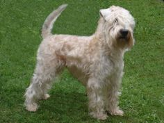Soft coated wheaton terrier photo | Raça – Soft Coated Wheaten Terrier