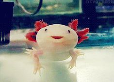 Axolotls have the unique ability to regenerate most body parts. In a period of months, they can grow entire new limbs and even portions of the brain and spine.    they also have the ability to make cute little smiley faces and be completely adorable