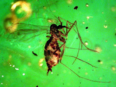 Diptera: Psychodidae Lutzomyia/Pintomyia sp. female engorged with blood (potential gut microbes) (Miocene Dominican amber).