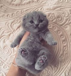 cat cute-gray
