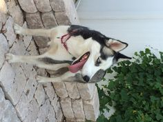 #Siberian #Husky #Rescue of #FL has a newly rescued #dog!  Meet two-year-old KALI. Kali is a black and white, blue eyed female #Husky. Kali walks well on her leash, and enjoys going for walks.   Kali is healthy, spayed, up-to-date on vaccines, and heartworm negative; she will be microchipped prior to #adoption.  To #adopt KALI or any of our other beautiful #dogs, apply here: http://www.siberrescue.com/