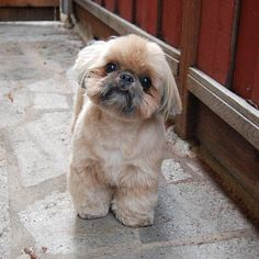 Miss me? Shih Tzus, Shih Tzu Puppy, Shih Tzu Mix, I Love Dogs, Cute Dogs, Cute Puppies, Dogs And Puppies, Doggies, Baby Animals