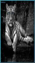 .tigre gris azu gl hc