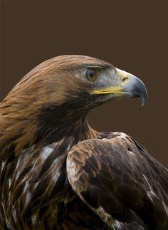 Golden Eagle - Raptor - by Ian Rylance on 500px: