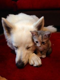 Orphan kitten finds an unlikely dad