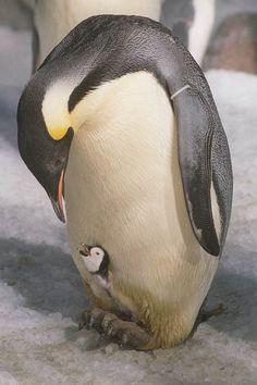 Pinguim-imperador com uma cria; os animais sumiram completamente da península antártica em 2009.