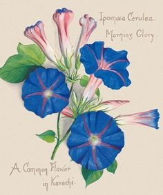 Morning Glory color inspiration- Natural History Museum greeting card