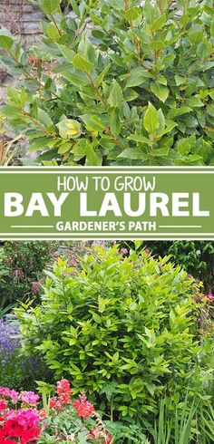 For outstanding versatility, bay laurel has it all. Used as an evergreen woody shrub or a trimmed topiary specimen, it can be planted in the ground or a container, and can even grow indoors. Plus, it's an essential kitchen herb. To find out more about how Cannabis, Marijuana Plants, Organic Gardening, Gardening Tips, Kitchen Gardening, Pallet Gardening, Urban Gardening, Indoor Gardening, Bay Laurel Tree