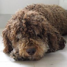 Lagotto Romagnolo - when I get another dog, it will probably be a Lagotto - the right mixture between the poodle and the wheaten ;o))