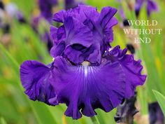 TB Iris germanica 'World Without End' (Hager by DuBose, 2000)