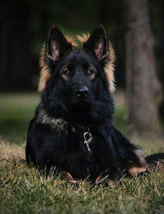 Black sable german shepherd http://www.germanshepherds.com/#/forumsite/20533/topics/656785?page=1 #DogNames #germanshepherd