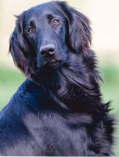 ♥DS♥ 145 Flat Coated Retriever