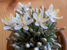 Avonia quinaria subs. alstonii | World of Succulents