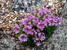 Erinus alpinus (Fairy Foxglove) Pocket Garden, Garden S, Garden Plants, Rock Plants, Alpine Plants, Unusual Plants, Succulents, Fairy, Yard Ideas