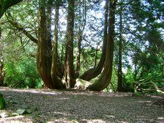 thuya géant de l'arboretum de Gelli Aur