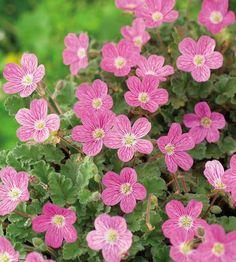 3 kpl Korukurjennokka September Flowers, S Form, Pink Leaves, Leaf Coloring, Colorful Flowers, Green And Grey, Perennials, Bloom, Garden