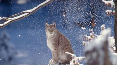 Eurasian lynx - Science & Environment World wildlife 'falls by 58% in 40 years' By Rebecca Morelle Science Correspondent, BBC News 27 October 2016  From the section Science & Environmen