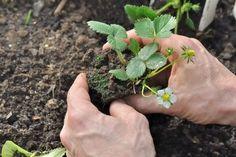 Få de bedste og flotteste jordbær i din have - Læs mere her Vegetable Garden, Landscape Design, Planters, Island, Vegetables, Gardening, Garden Ideas, Kitchen, Crowns