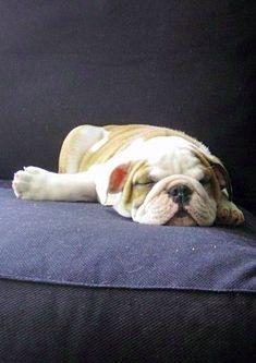 #Bulldog #puppy