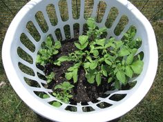 "As they grow, keep adding soi -  the ""hilling"" method. Eventually this basket will be full of soil & the plants will be growing out of the holes & top.  At the end of the summer, the plants will die (see pic).  Dump the soil out +  potatoes ready ~ 8-10 lbs from 1 bsk."