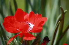 Poppy; Edgerton, KS;Picture Perfect Prairie; LIKE, COMMENT, OR SHARE TO VOTE!