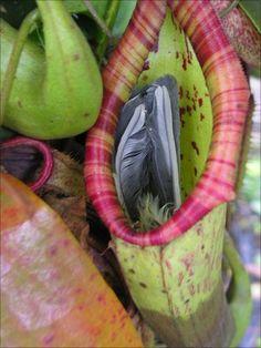 pitcher plant eats bird