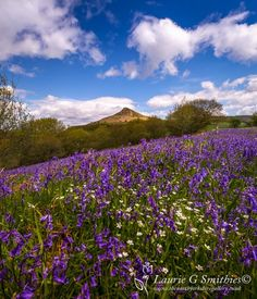 Roseberry Topping – Bluebells And Stitchwort